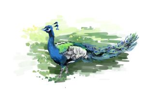 Peacock by WindHydra