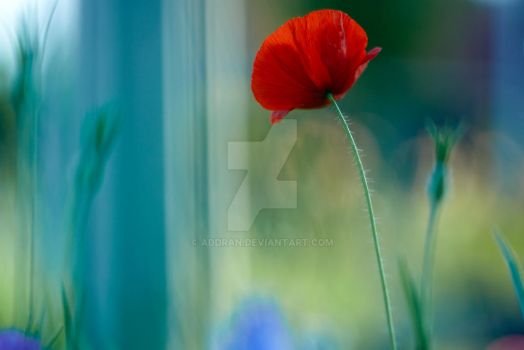 Late Poppy by Addran