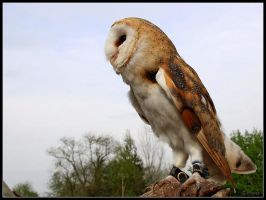 Barn Owl 3 by cycoze