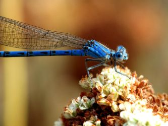 Damsel Fly by suhleap