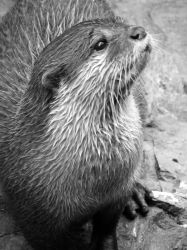 river otter by mia95
