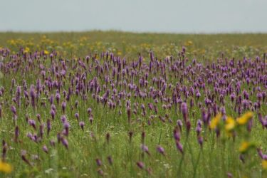 Purple Field 3 by SalsolaStock
