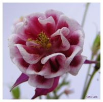 columbine 106 by Deb-e-ann