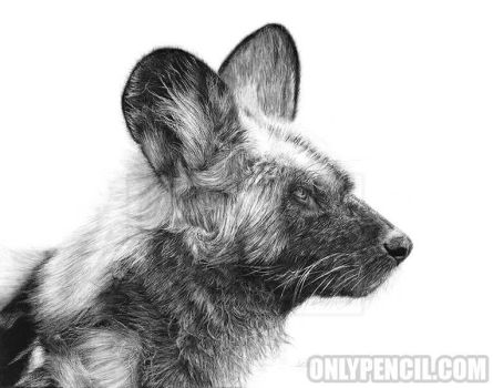African Wild Dog by chandito