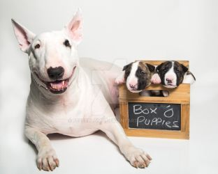 Bull Terrier mom and her puppies by Feeferlump