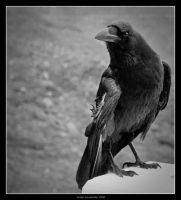 The Raven by fotovolker