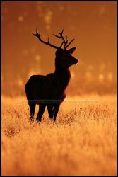 Backlit Stag At Dawn by nitsch