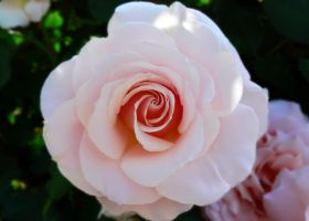 Pretty Pink Rose by Frostola