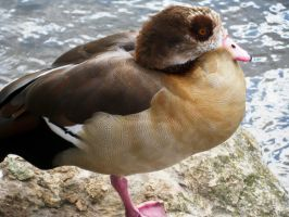 Egyptian Goose by Iris-cup