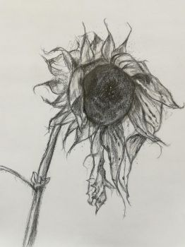 Dying sunflower by Midnight--aura