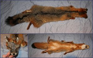 Large Gray Fox SOLD by ToothNClawTaxidermy