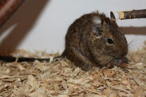 Degu Stock 8 of 10 ~ Male by Lovely-DreamCatcher