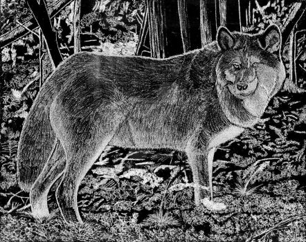Gray Wolf Engraving by fenrisget