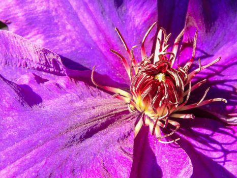 Purple Clematis by Bunny-with-Camera