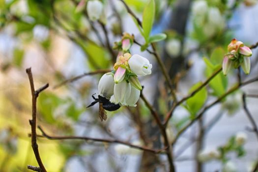 Blueberry Bumble by Shadowhawk9973
