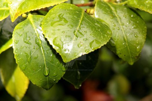 Wet leaves by PhillipBeverley