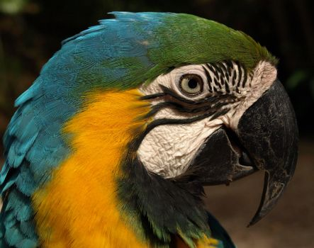 Blue Macaw by Debellos