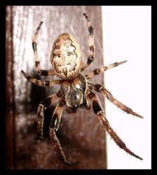Furrow Orbweaver Spider by DeviantLadyAshley