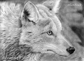 Coyote by selvatico3