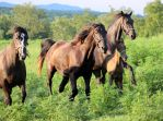 Multiple Horses 57 by MountainViewStock