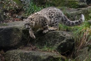 Snow Leopard 53 by CastleGraphics