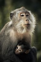 Long tailed Macaque by PixelBalance