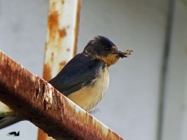 Swallow On Rusted Railing by wolfwings1