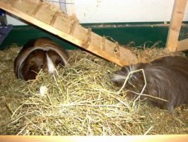 Tacitus and Fafnir eating hay by Cwylldren