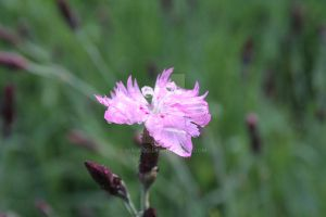 Dianthus by MaiaQQ