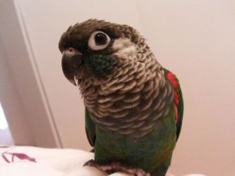Pearly Conure by Inspire-Shrike