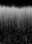 Reeds BW WM by DominicaPresently
