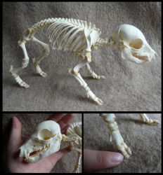 Juvenile Domestic Pig Skeleton by CabinetCuriosities