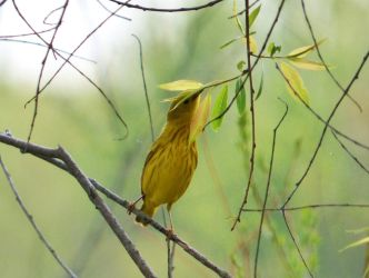 Yellow Warbler by AppleBlossomGirl