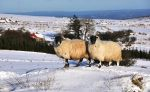 Sheep in the Snow, Ireland by younghappy