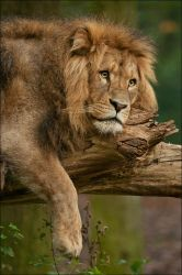 Lion in the woods by Svenimal