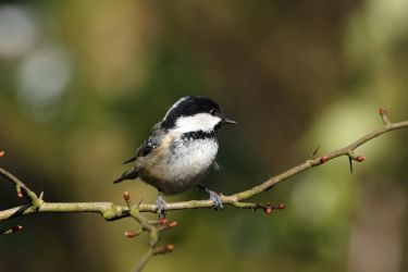 Coal Tit1 by cycoze