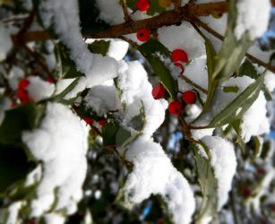 Frozen Holly. by HelenQuarter
