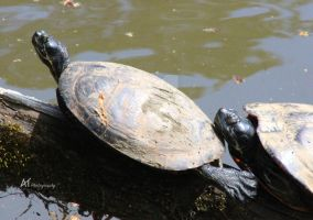 Coastal plain cooter wee by Amarantheans