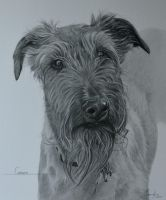 Commission - Irish Terrier 'Grover' by Captured-In-Pencil