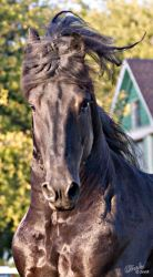Friesian Stallion Headshot by Deirdre-T