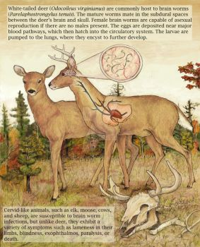 whitetail deer + brainworms I by Banvivirie