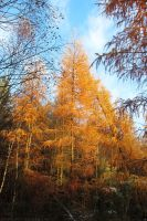 Larch in gold II by rosaarvensis