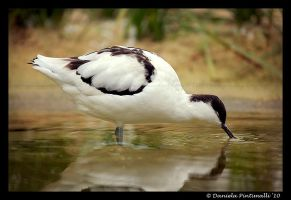 Pied Avocet by TVD-Photography