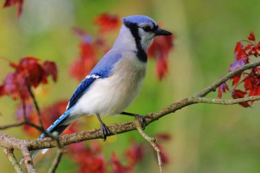Bluejay in May by barcon53