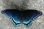 Dark Butterfly (Red-Spotted Purple) by AncientEchidna