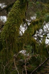 Mossy tree 1 by Ciuva