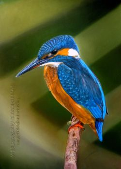 Kingfisher by AmBr0