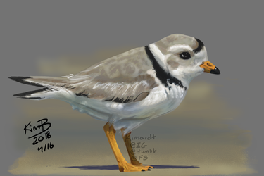 Practice - Piping Plover by phantos
