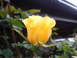 yellow Rose close up by blackroselover