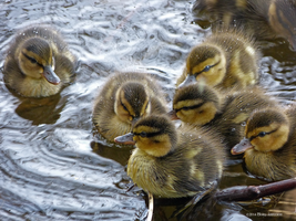 Newly born ducklings by Mogrianne